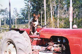 Our ever faithful tractor dog!